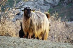 Golden hair of an angora goat stock images