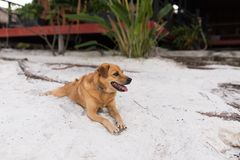 Golden hair dog relaxing on white sand Royalty Free Stock Photography