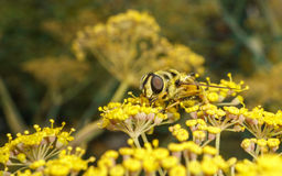 A golden haired Hoverfly with black stripes Royalty Free Stock Photos