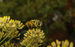 A golden haired Hoverfly with black stripes Stock Images