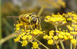 A golden haired Hoverfly with black stripes Stock Photography