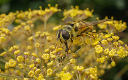 A golden haired Hoverfly with black stripes Stock Image