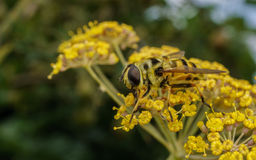 A golden haired Hoverfly with black stripes Stock Photos