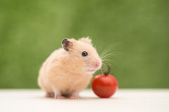 Golden Hamster Royalty Free Stock Image