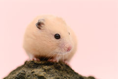 Golden Hamster Royalty Free Stock Photography