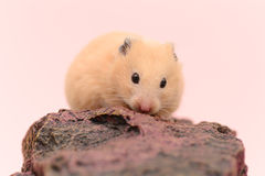 Golden Hamster Royalty Free Stock Photos