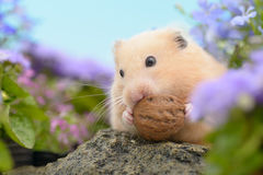 Golden Hamster Royalty Free Stock Images