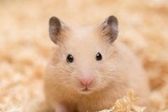 Golden Hamster' face Royalty Free Stock Image