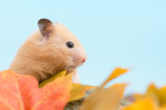 Golden Hamster Stock Photography
