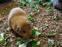 Golden Hamster in the garden so cute Stock Photography