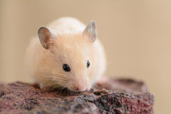 Golden Hamster on a rock Royalty Free Stock Images