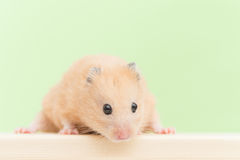 Golden hamster Stock Photo