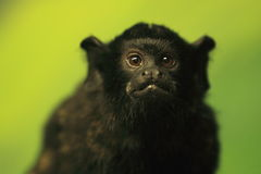 Golden-handed tamarin Royalty Free Stock Image