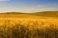 Golden Harvest Stock Photos