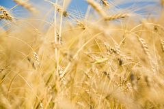 Golden harvest. Photo of golden harvest in the autumn Royalty Free Stock Photos