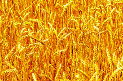 Golden harvest as background Stock Photos