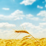 Golden harvest close up on field Royalty Free Stock Image