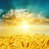 Golden harvest closeup and sunset Royalty Free Stock Photos