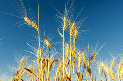 Golden harvest and deep blue sky Stock Photography