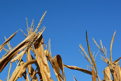 Golden Harvest. Detail of dried corn tassels and leaves Stock Image