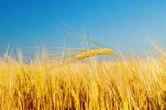 Golden harvest on field Royalty Free Stock Photography