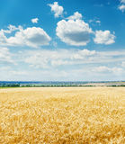 Golden harvest field and clouds in blue sky over it Royalty Free Stock Photo