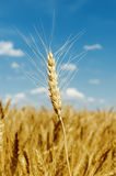 Golden harvest on field Royalty Free Stock Photo