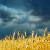 Golden harvest on field and dramatic sky Royalty Free Stock Photography