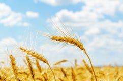 Golden harvest on field Stock Photo