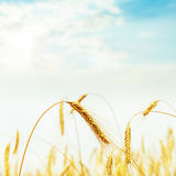 Golden harvest in field on sunset Royalty Free Stock Photography