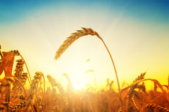 Golden harvest on field Royalty Free Stock Images