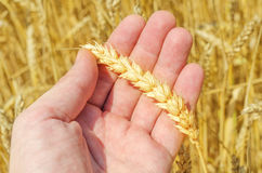 Golden harvest in hand over field Royalty Free Stock Image