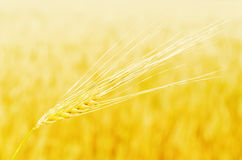 Golden harvest in sunrays over field Royalty Free Stock Photos