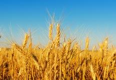 Golden harvest in sunset Stock Photography