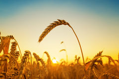 Golden harvest and sunset Stock Images