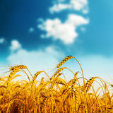 Golden harvest on sunset Stock Image