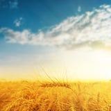 Golden harvest on sunset Stock Image