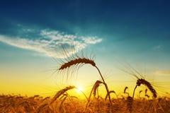 Golden harvest under blue cloudy sky on sunset Stock Photos