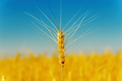 Golden harvest under blue sky Royalty Free Stock Image