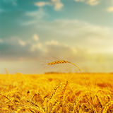 Golden harvest under cloudy sky on sunset Stock Photo