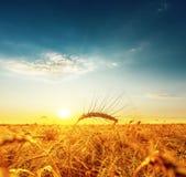 Golden harvest under dark blue cloudy sky on sunset Stock Photo