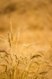 Golden harvest Royalty Free Stock Images