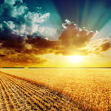 Golden harvesting field and beautiful sunset Royalty Free Stock Photo