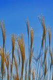 Golden hay drifting over blue sky Stock Photo