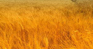 Golden Hayfield. Wide angle Hayfield, detailed hay Royalty Free Stock Photography