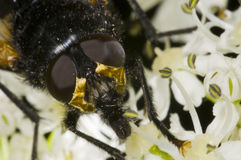 Golden head of house fly Stock Image
