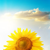 Golden head of sunflower under sunset and blue sky Stock Photography