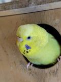 Golden headed Budgerigar Stock Images