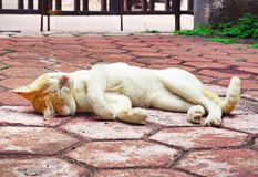Golden-headed cat's lazy time Stock Photo