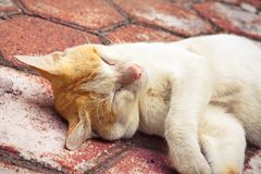 Golden-headed cat's lazy time Royalty Free Stock Image